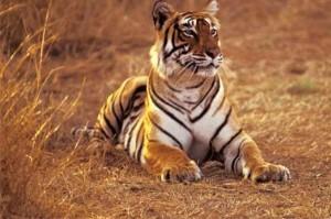 Alla ricerca della tigre